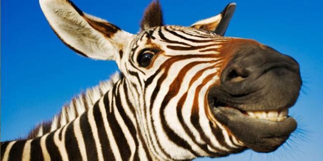 zabavnaya-zebra.jpg