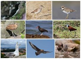 275px-Charadriiformes_Diversity.jpg