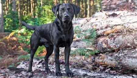 chernye-labradory-opisanie-harakter-soderzhanie-i-spisok-klichek-41.jpg
