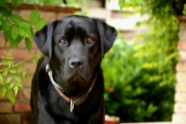 chernye-labradory-opisanie-harakter-soderzhanie-i-spisok-klichek-1.jpg