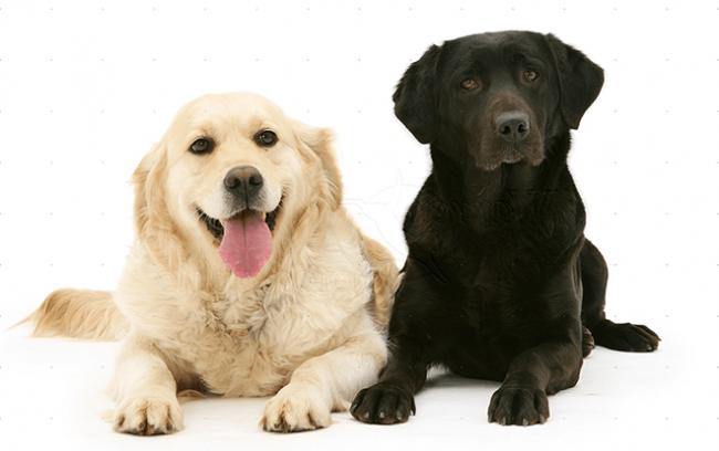 labrador-i-golden-1-e1548699241561.png