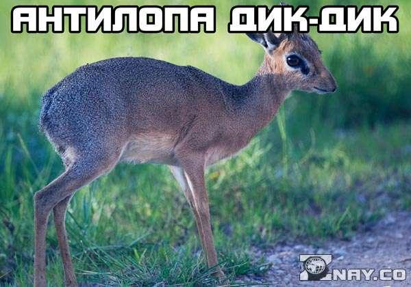 1494576670_antilopa-dikdik-6.jpg