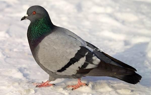 zimuyushhie-pticy-nazvaniya-opisaniya-i-osobennosti-zimuyushhix-ptic-2.jpg