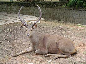 275px-Sambar_deer.JPG