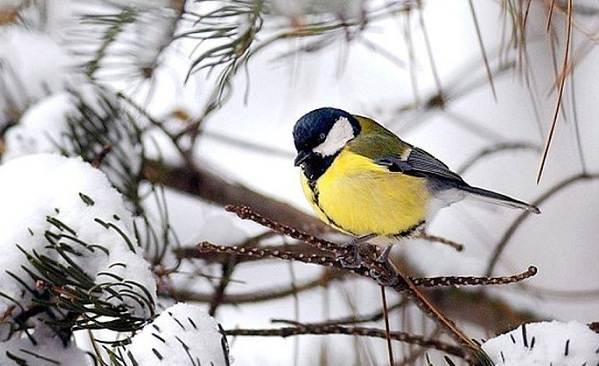 zimuyushhie-pticy-nazvaniya-opisaniya-i-osobennosti-zimuyushhix-ptic-7.jpg