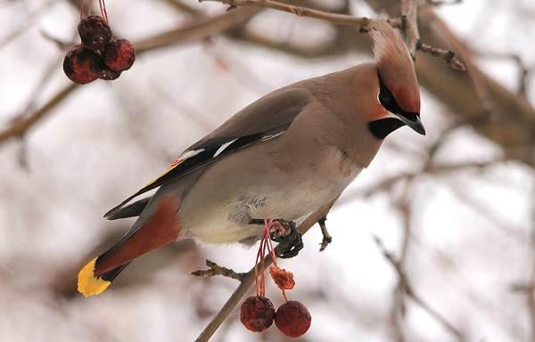 zimuyushhie-pticy-nazvaniya-opisaniya-i-osobennosti-zimuyushhix-ptic-8.jpg