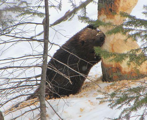 pitanie-kanadskogo-bobra.jpg