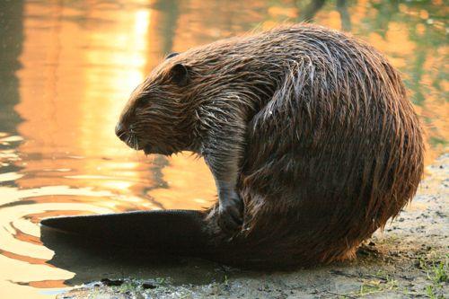 kanadskij-bobr-vozle-vody.jpg
