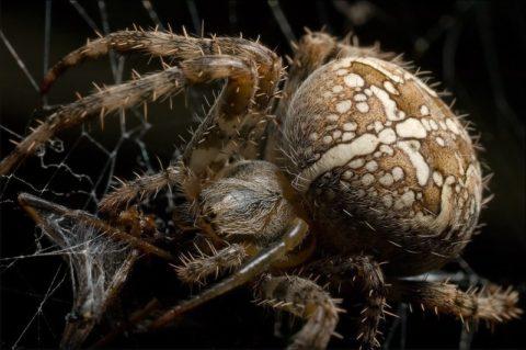 samka-pauka-krestovika-480x319.jpg