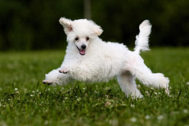 mascotas-raza-de-perro-caniche-1-XxXx80.jpg