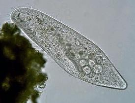 275px-Paramecium_caudatum_Ehrenberg%2C_1833.jpg