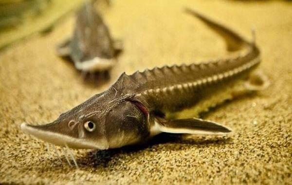 sterlyad-ryba-opisanie-osobennosti-vidy-obraz-zhizni-i-sreda-obitaniya-sterlyadi-1.jpg