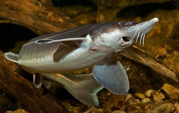 sterlyad-ryba-opisanie-osobennosti-vidy-obraz-zhizni-i-sreda-obitaniya-sterlyadi-3.jpg