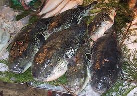 274px-Fugu.Tsukiji.CR.jpg