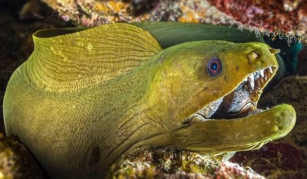 murena-ryba-opisanie-osobennosti-vidy-obraz-zhizni-i-sreda-obitaniya-muren-11.jpg