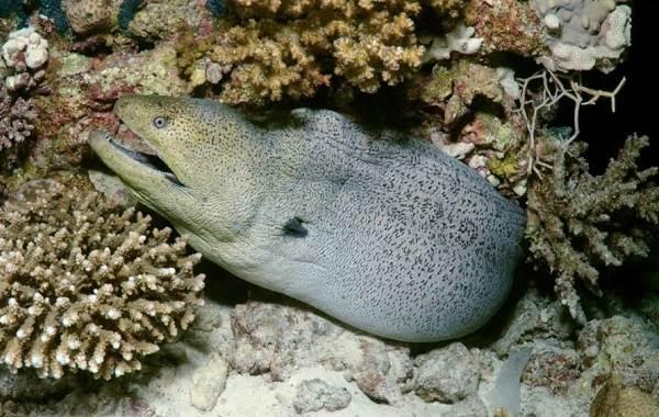 murena-ryba-opisanie-osobennosti-vidy-obraz-zhizni-i-sreda-obitaniya-muren-8.jpg