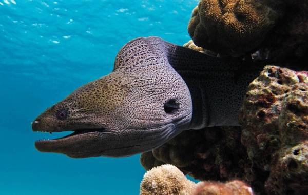 murena-ryba-opisanie-osobennosti-vidy-obraz-zhizni-i-sreda-obitaniya-muren-13.jpg