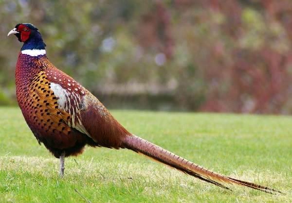 fazan-ptica-opisanie-osobennosti-vidy-obraz-zhizni-i-sreda-obitaniya-fazana-1.jpg