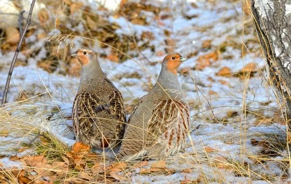 kuropatka-ptica-opisanie-osobennosti-vidy-obraz-zhizni-i-sreda-obitaniya-kuropatki-2.jpg