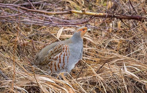 kuropatka-ptica-opisanie-osobennosti-vidy-obraz-zhizni-i-sreda-obitaniya-kuropatki-7.jpg