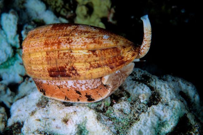 Conus-geographus.jpg