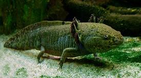 275px-Axolotl_ganz.jpg
