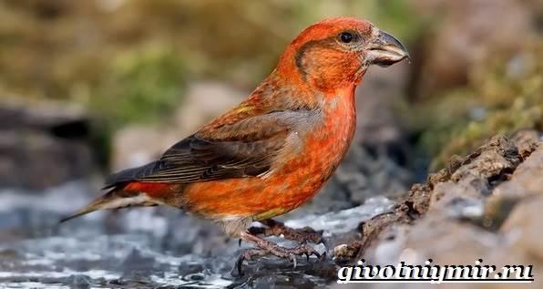 klest-opisanie-i-osobennosti-pticy-klest-1.jpg