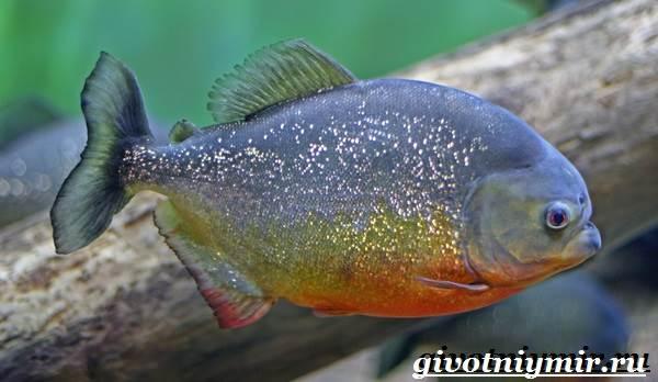 piranya-ryba-obraz-zhizni-i-sreda-obitaniya-ryby-pirani-1.jpg