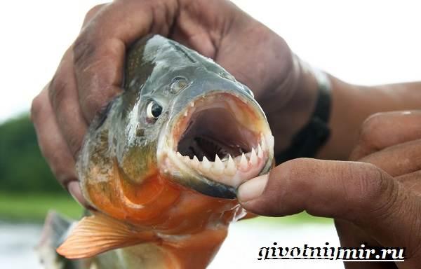 piranya-ryba-obraz-zhizni-i-sreda-obitaniya-ryby-pirani-2.jpg