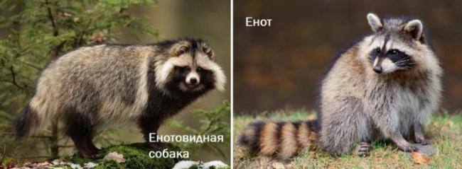 razlichiya-enotovidnoy-sobaki-i-enota-788x290.jpg
