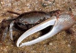 im244-Fiddler_crab.jpg