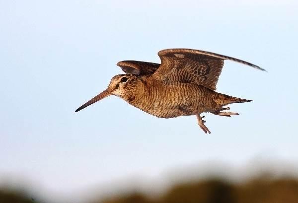 valdshnep-ptica-opisanie-osobennosti-obraz-zhizni-i-sreda-obitaniya-valdshnepa-1.jpg
