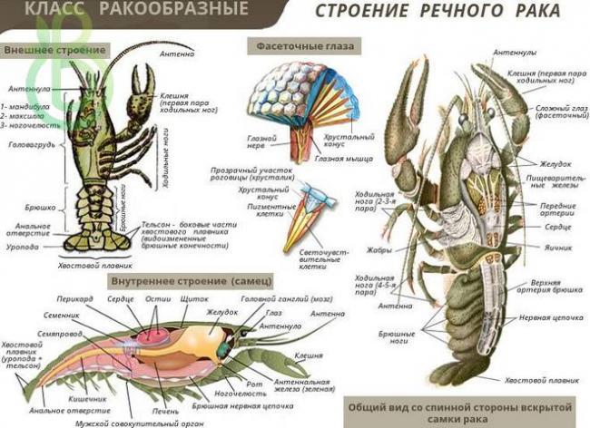 tip-chlenistonogie-obshhaya-harakteristika-stroenie-razmnozhenie-raznoobrazie-i-znachenie-chlenistonogih3.jpg