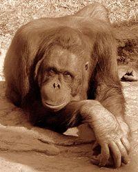 200px-female_orangutan_posing.jpg