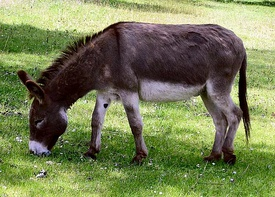 275px-Donkey_in_Clovelly%2C_North_Devon%2C_England.jpg