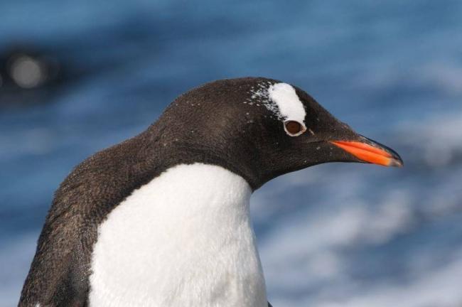 Голова-и-клюв-пингвина-фото-1024x682.jpg