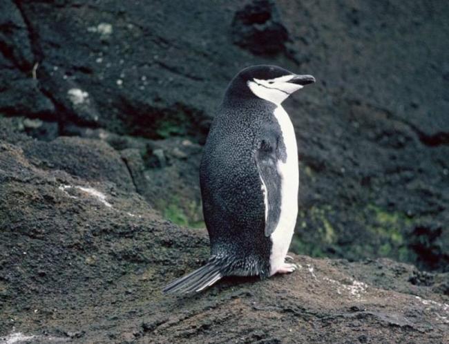Хвост-пингвина-фото.jpg