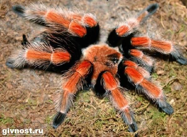tarantul-pauk-obraz-zhizni-i-sreda-obitaniya-pauka-tarantula-4.jpg