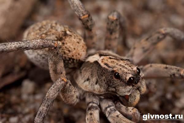 tarantul-pauk-obraz-zhizni-i-sreda-obitaniya-pauka-tarantula-3.jpg