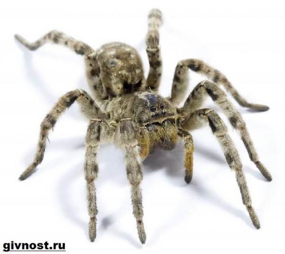 tarantul-pauk-obraz-zhizni-i-sreda-obitaniya-pauka-tarantula-7.jpg