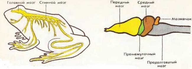 nervn-sist-zemnovod.jpg