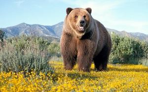 buryi-medved.jpg