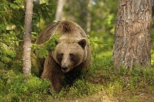 buryi-medved-v-lesu.jpg