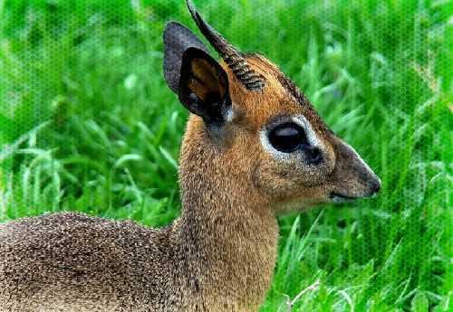 BeFunky_karlikovaya-antilopa.jpg