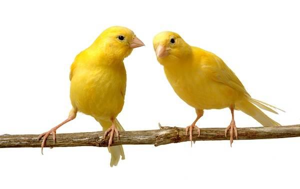 kanarejka-ptica-opisanie-osobennosti-vidy-obraz-zhizni-i-sreda-obitaniya-kanarejki-15.jpg