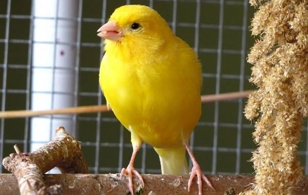 kanarejka-ptica-opisanie-osobennosti-vidy-obraz-zhizni-i-sreda-obitaniya-kanarejki-12.jpg