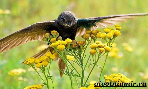 strizh-ptica-obraz-zhizni-i-sreda-obitaniya-strizha-12.jpg