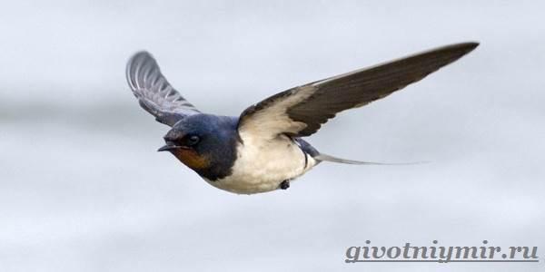 strizh-ptica-obraz-zhizni-i-sreda-obitaniya-strizha-2.jpg