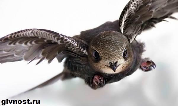 strizh-ptica-obraz-zhizni-i-sreda-obitaniya-strizhej-1.jpeg