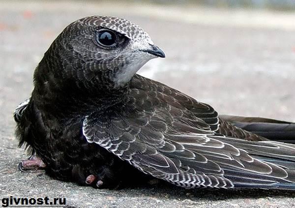 strizh-ptica-obraz-zhizni-i-sreda-obitaniya-strizhej-8.jpeg